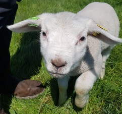 New Lambs at Secure-a-Field